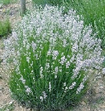 14 2 Lavande blanche Edelweiss _ lavadula angustifolia (plante).jpg