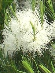 29 - melaleuca-alternifolia 7.jpg