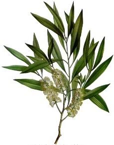 33 - Tea Tree.jpg