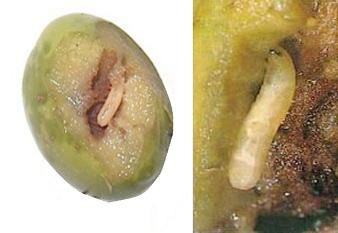 larve dans une olive_2.jpg