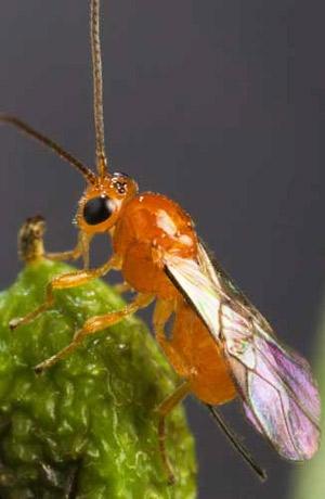 Psyttalia concolor2.jpg