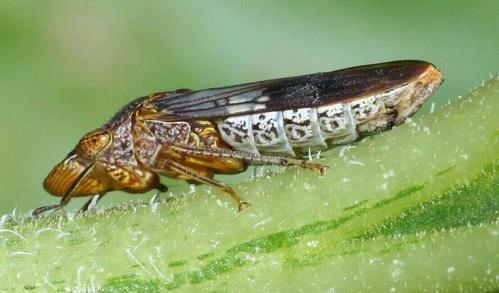 Cicadelle pisseuse (ou Homalodisca_vitripennis).jpg