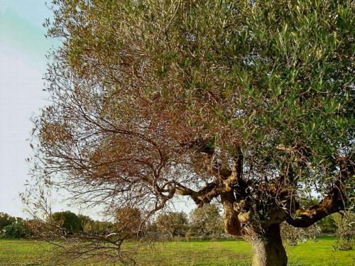 ulivo-affetto-da-Xylella-fastidiosa-1.jpg