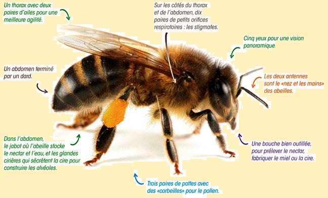 4 planche_abeille sur fon blog.jpg