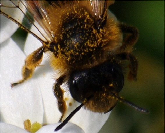 12 - 2 Abeille se chargeant de pollen.jpg