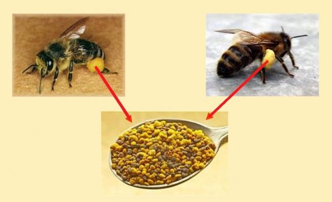 22 - 4 Recolte du pollen sur fond Blog.jpg
