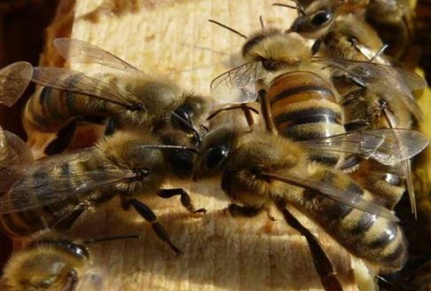 13 - 2 Deux ouvrières s'échangent leur nectar par trophllaxie.jpg