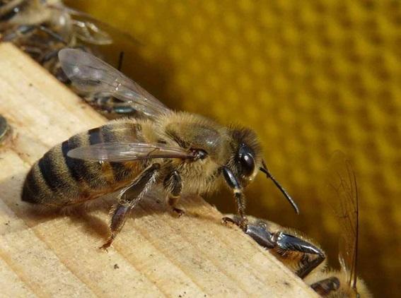 18 Ouvrière enrichissant le nectar.jpg