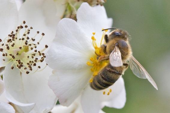 39 - abeille sur un cerisier.jpg