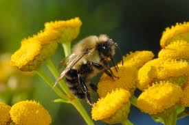 43 abeille sur immortelles.jpg