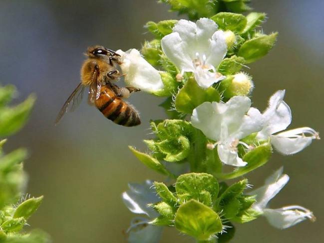 44 abeille sur gueules de loup.jpg
