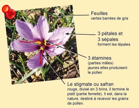 Fleur de crocus Sativus.jpg