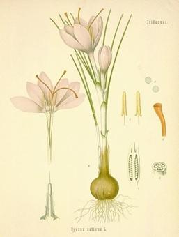 Planche botanique du crocus.jpg