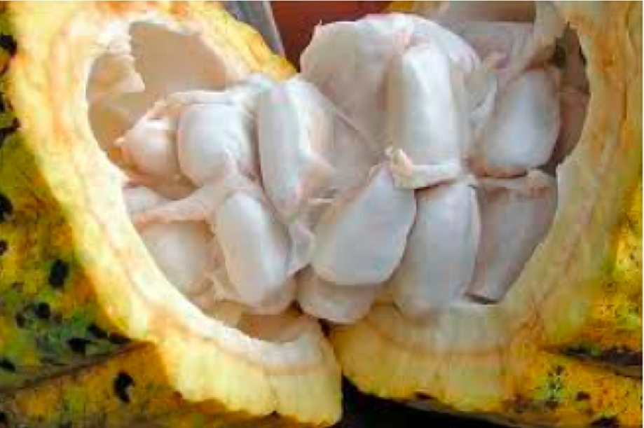 18_Fèves de cacao.jpg