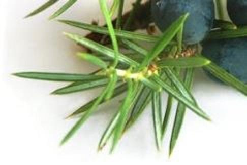 juniperus.JPG
