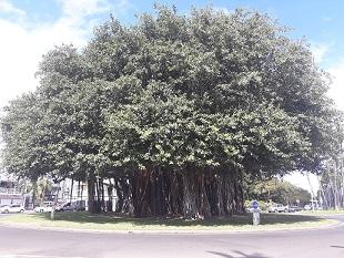 Banyan de la pointe des gamets (Réunion).jpg