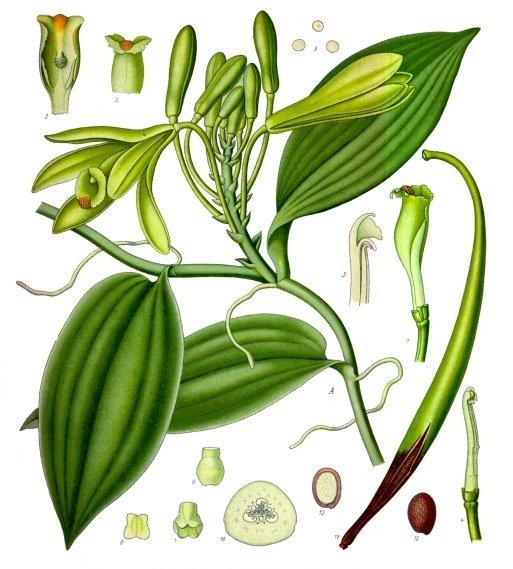 5 - Planche botanique Vanilla_planifolia.jpg