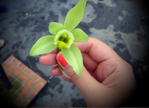 7 - 3 - Fleur de vanille.jpg