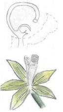13 - 1 - Fleur de vanille.jpg