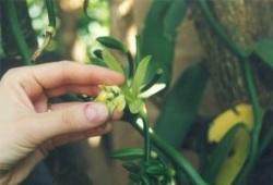 16 - Fleur de Vanille 2.jpg