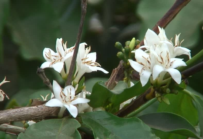 fleurs de café 2.jpg