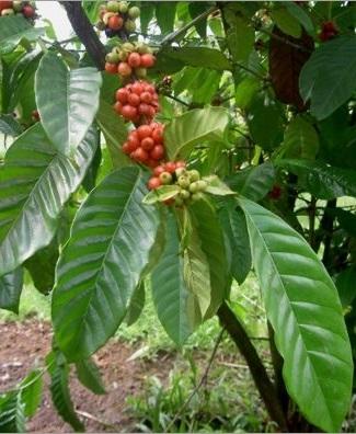Coffea-Arabica-nana.jpg