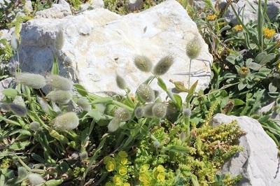 49 _ flore de l'ile 8 Romarin lagulus et queue de rats.jpg