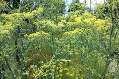 51 _ Flore de l'ile foeniculum-vulgare.jpg