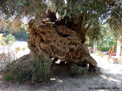 Vouves-tronc-olivier.jpg
