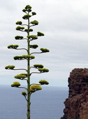 56 _ Agaves en fleurs (2).jpg