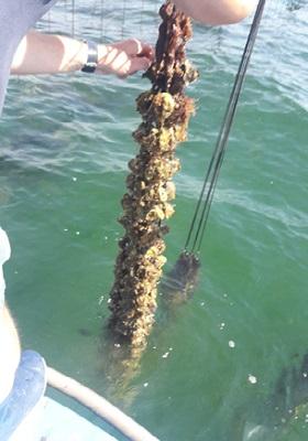 24 - Faisceau de Cordelette d'huîtres de 12 mois.jpg