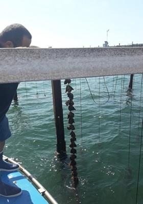 25 - Cordelette d'huîtres de 12 mois.jpg