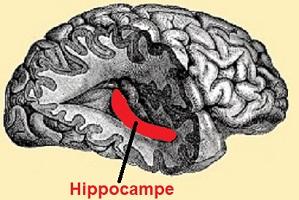hippocampe pour article 50.jpg