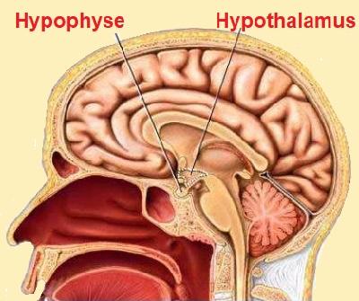 2 - Hypothalamus.JPG