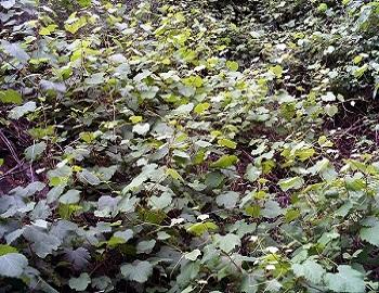 02 - Lambrusqyes sauvages Vitis_vinifera_sylvestris_Habitus_SierraMadrona.jpg