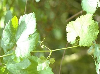 04 - Lambrusques sauvages Vitis_vinifera_sylvestris.jpg