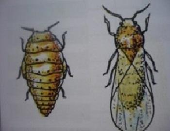 22 - phylloxéra femelle et mâle.jpg