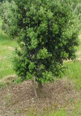 1 - 7 - Chêne truffier_arbre.jpg