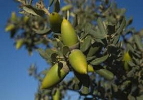 1 - 8 - Chêne vert Quercus Ilex.jpg