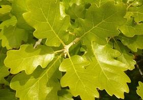 1 - 11 - Chêne Quercus pubescent.jpg