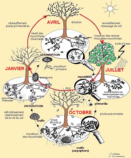 1 - 19 - 1983 Cycle biologique de la truffe et son arbre-hôte par l'INRA.jpg