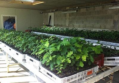 1 - 25 - nursery de chênes truffiers 3 280 x 400.jpg
