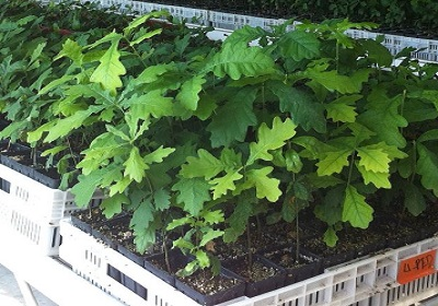1 - 26 - nursery de chênes truffiers 2 F 280 x 400.jpg