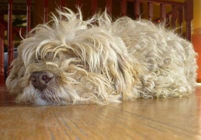 4 - 5 - 2 - Un Lagotto Romagnolo - chien d'eau.JPG