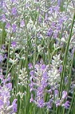 14 1 - Lavande vraie Middachten _ lavandula angustifolia.jpg