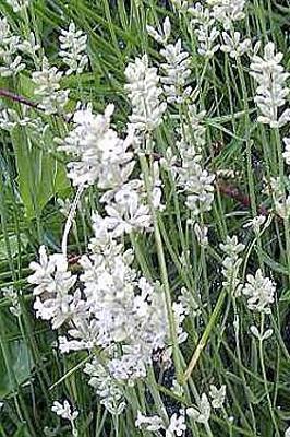 14 3 - Lavande blanche Edelweiss (agrdt fleur).jpg