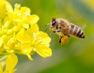 Bees_rapeseed_460x230.jpg