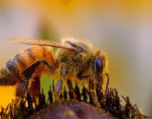 12 - 0 abeille_pollen_.jpg