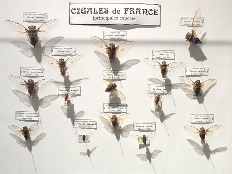 5 - Cigales de France 800x600.jpg