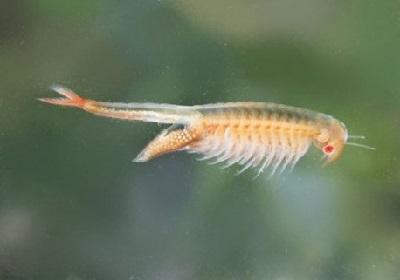 75 - Artemia salina.jpg